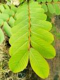 Long leaf Royalty Free Stock Photo
