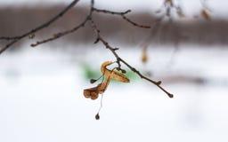 Leaf na drzewie w zima dniu Zdjęcia Royalty Free