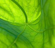 Leaf of nasturtium 1. Nasturtium leaf, detailed Royalty Free Stock Images