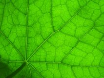 Leaf of nasturtium 2. Nasturtium leaf, detailed Stock Photo