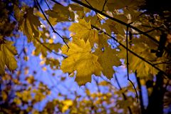 Leaf, Nature, Yellow, Autumn stock image