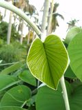 Leaf. New born baby leaf  #beautyfull Royalty Free Stock Images