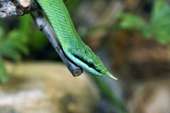 Leaf Nosed Rat Snake Royalty Free Stock Image