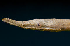 Leaf-nosed snake / Langaha madagascariensis Stock Photography