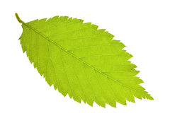 Leaf of nut Royalty Free Stock Image