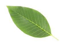 Leaf of a nut tree isolated on white. Background Royalty Free Stock Photography