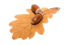 Leaf of oak and acorns Royalty Free Stock Photography