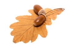 Leaf of oak and acorns. Isolated on white background Royalty Free Stock Photography