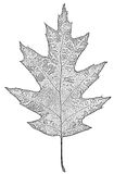 Leaf of oak black-white, isolated on white background Royalty Free Stock Photography