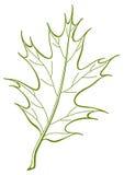 Leaf of oak Iberian,  Stock Image
