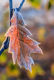 Leaf of an oak with ripe. Royalty Free Stock Photos