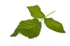 Leaf Of Raspberry Royalty Free Stock Photos