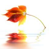 Leaf Of Wild Grape Royalty Free Stock Photos