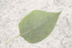 Leaf on the old texture Stock Photo