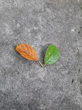 Leaf. Old and young Stock Photography