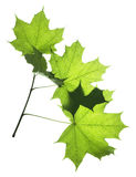 Leaf On White Royalty Free Stock Photography