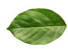 Leaf. A leaf is an organ of a vascular plant and is the principal lateral appendage of the stem.[1] The leaves and stem together form the shoot.[2] Foliage is a Royalty Free Stock Photo