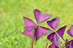 Leaf of Oxalis triangularis - also called false shamrock, love p Stock Image