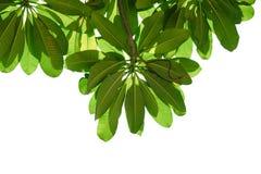 Leaf på vit Arkivfoto