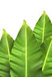 Leaf på vitbakgrund Arkivbilder