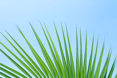 Leaf of palm Stock Photos