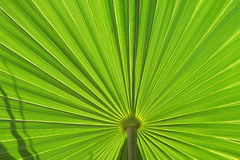 leaf palm στοκ εικόνα με δικαίωμα ελεύθερης χρήσης