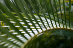 leaf palm στοκ εικόνες με δικαίωμα ελεύθερης χρήσης