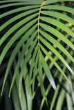 Leaf of palm Royalty Free Stock Photos