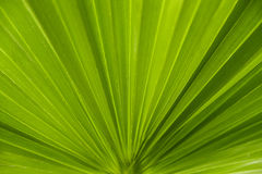 Leaf of palm tree Stock Photography