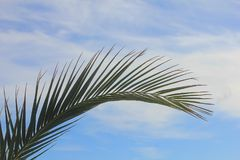 Leaf of a palm tree. A leaf of a palm tree Royalty Free Stock Images