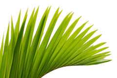 Leaf of palm tree Royalty Free Stock Photo