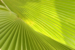 Leaf of palm tree royalty free stock image
