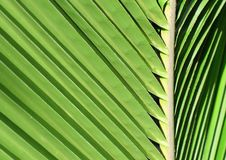 Leaf of a palm tree Stock Image