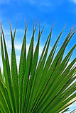 Leaf of a palm tree against the clear blue sky Stock Photography