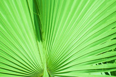 Leaf of the palm tree background Royalty Free Stock Image