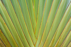 Leaf of Palm Tree Royalty Free Stock Photos