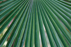Leaf of a palm tree Stock Photo