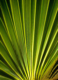 Leaf of the palm tree Stock Image