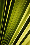 Leaf of the palm tree Royalty Free Stock Images