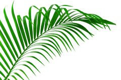 Leaf of palm tree isolated clipping path royalty free stock images