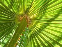 Leaf of palm tree Royalty Free Stock Images