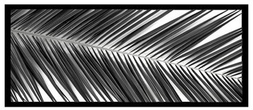 Leaf , palm , tree . plant , blackwhite Palm leaf  ,honeysuckle ornament ,palm ,palm tree ,palmette , Stock Photo