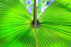 Leaf of palm tree in tropics. Background. Stock Images