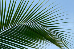 Leaf palm trees Stock Photography