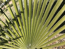 Leaf from a palmtree. In the Turia Gardens Valencia Spain stock photos