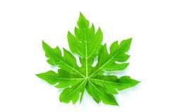 Leaf papaya  Royalty Free Stock Images