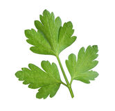 Leaf of  parsley Stock Images