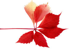 Leaf of parthenocissus in autumnal colors on white background Royalty Free Stock Photos