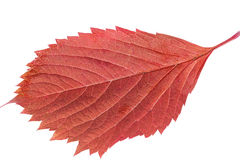 Leaf of parthenocissus in autumnal colors on white background Stock Images