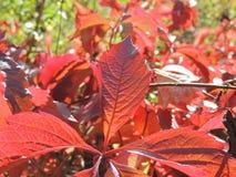 Leaf of Parthenocissus quinquefolia Royalty Free Stock Photos